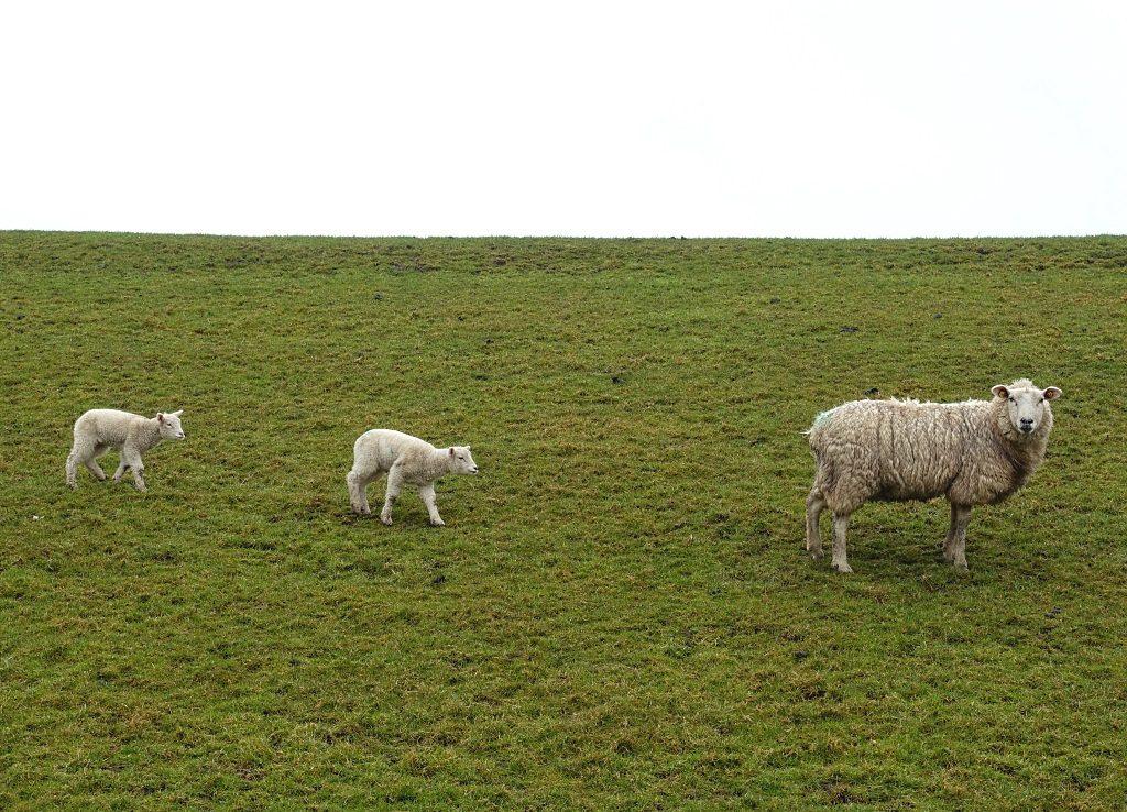 Nordfriesland: Schafe