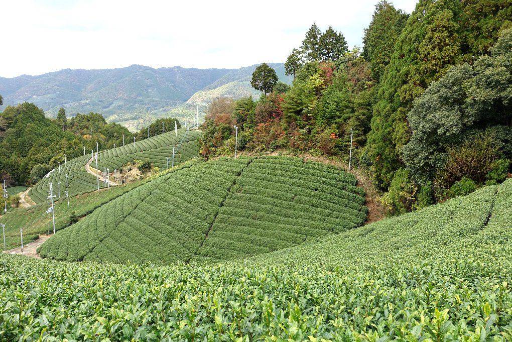 Teefarm in Japan