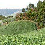 Auf einer Teeplantage in Japan: Ein Tag bei Obubu Tea in Wazuka
