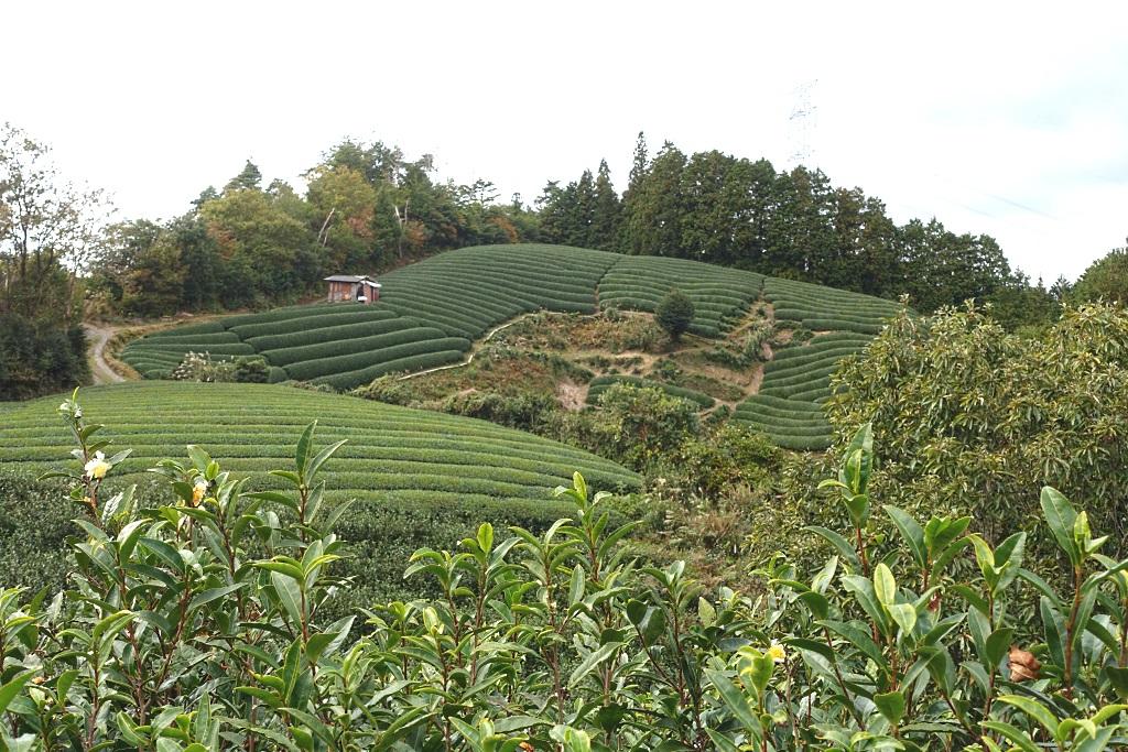 Teeplantage in Japan
